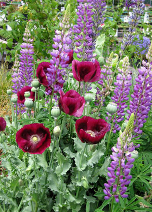 Papaver Lauren's Grape & Lupinus Perennis
