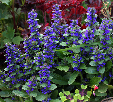 "Ajuga genevensis ""Blue Bugleweed"""