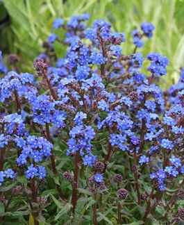 "Anchusa capensis 'Blue Angel' ""Summer Forget Me-Not"""