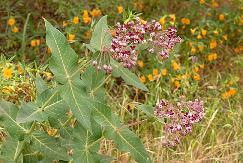 "Asclepias cordifolia ""Heart-leaf Milkweed"" - Buy Online at ..."