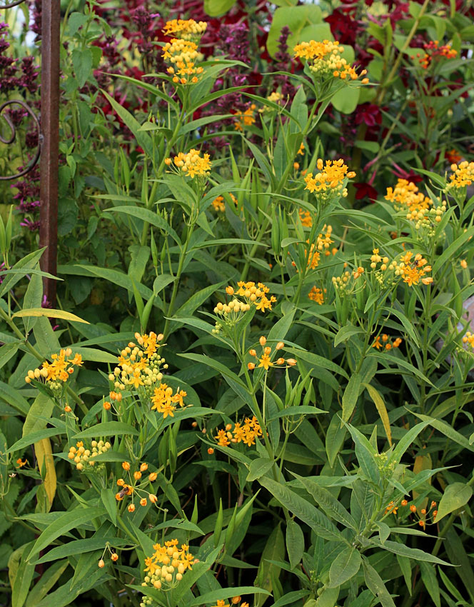 """Red Butterfly Milkweed Asclepias Curassavica Red: Asclepias Curassavica 'Silky Gold' """"Tropical Milkweed"""