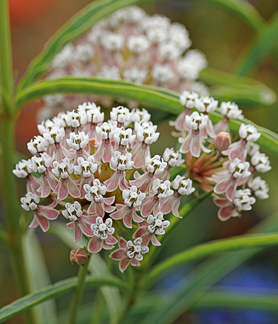 "Asclepias fascicularis ""Narrow Leaved Milkweed"""
