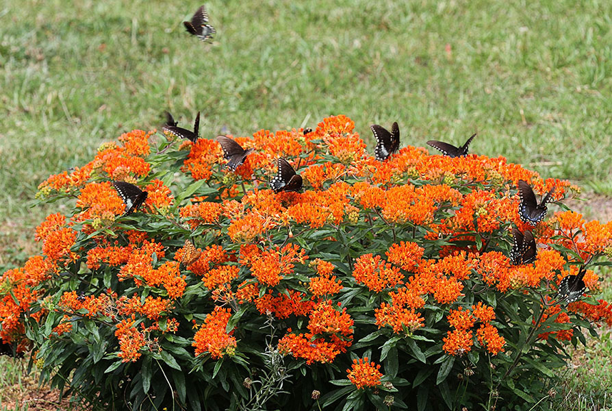 Asclepias Tuberosa Quot Milkweed Quot Buy Online At Annie S Annuals
