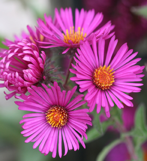 Aster nove-angliae 'September Ruby'