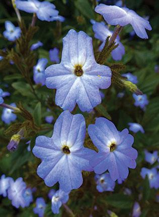 Browallia Americana Buy Online At Annie S Annuals