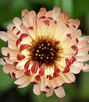 Calendula officinalis 'Bronzed Beauty'