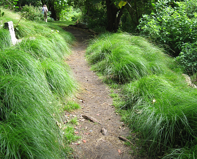 "Carex divulsa (Formerly known as C. tumicola or ""Berkeley Sedge"")"