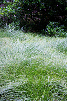 "Carex praegracilis ""California Field Sedge"""