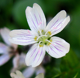 "Claytonia sibirica ""Candyflower"" ""Western Spring Beauty"""