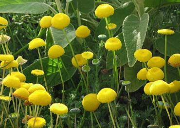 Cotula lineariloba 'Big Yellow Moon'