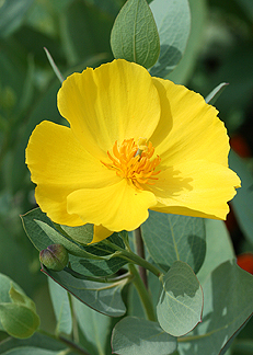 "Dendromecon rigida harfordii ""Island Bush Poppy"""