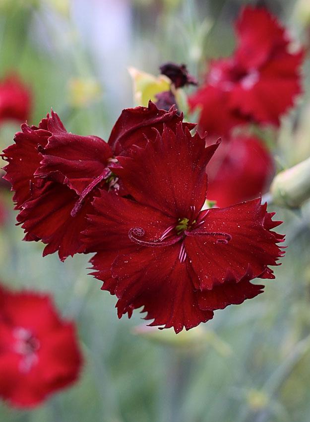 dianthus caryophyllus 39 single black 39 buy online at annie 39 s annuals. Black Bedroom Furniture Sets. Home Design Ideas
