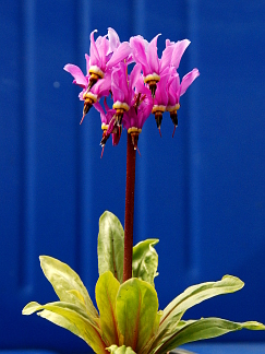 "Dodecatheon media 'Goliath' ""Shooting Stars"""