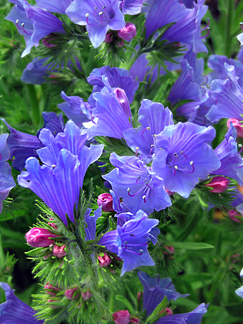"Echium plantagineum ""Blue Bedder"""