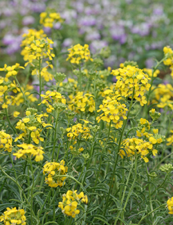 "Erysimum franciscanum var. crassifolium ""San Francisco Wallflower"""