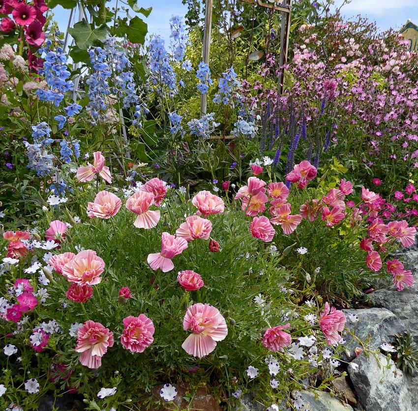 Eschscholzia Californica Rose Chiffon Quot California Poppy