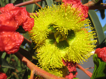 Eucalyptus Erythrocorys Quot Red Capped Gum Quot Buy Online At