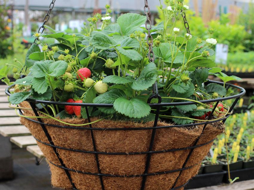 Fragaria X Ananassa Elan Quot Strawberry Quot Buy Online At