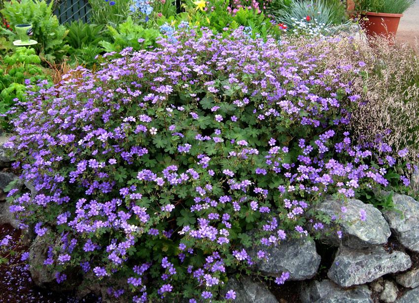 geranium_bill_wallis_01