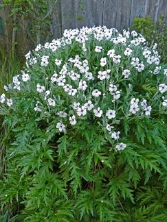 geranium maderense alba buy online at annies annuals