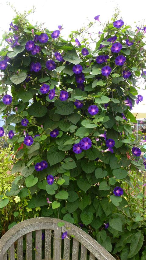 Ipomoea purpurea 39 kniola 39 s black 39 black morning glory for Ipomea purpurea