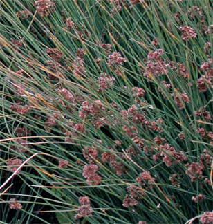 "Juncus patens 'Carman's/Carmen's Gray'  ""Blue Rush"""
