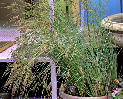"Juncus patens 'Occidental Blue' ""Blue Leaved Rush"""