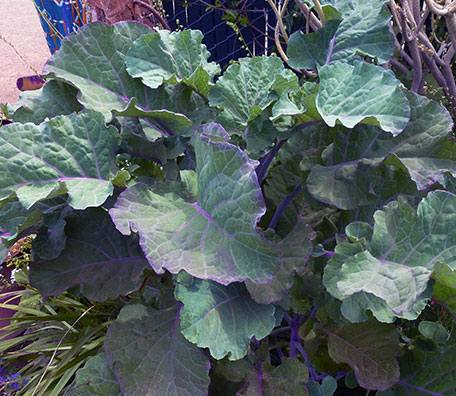 Kale 'Richmond's Pride'