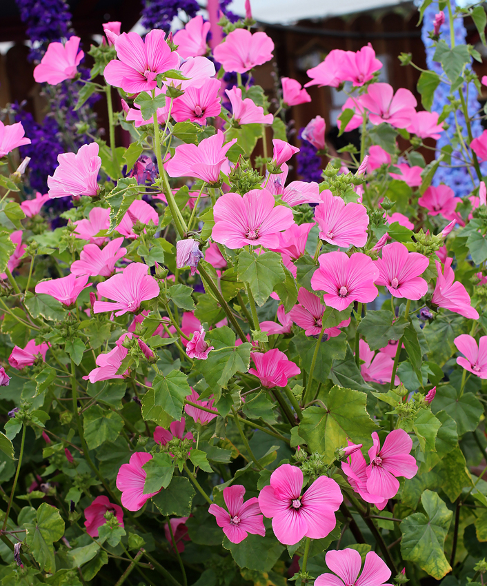 Lavatera Trimestris Loveliness Buy Online At Annie S