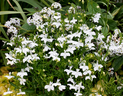 Lobelia erinus 'Fountain White'