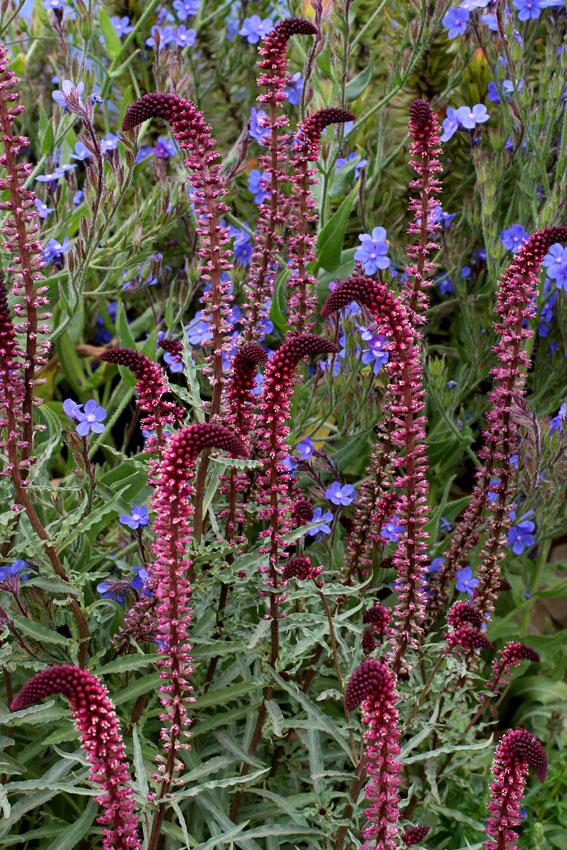 Lysimachia Atropurpurea Buy Online At Annie S Annuals