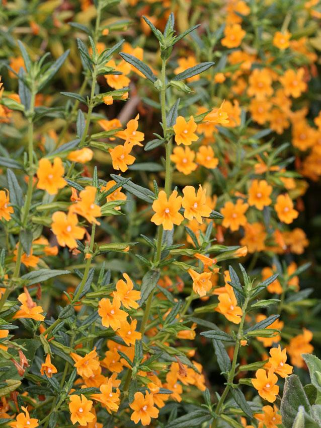 Mimulus Aurantiacus Point Molate Quot Monkey Flower Quot Buy