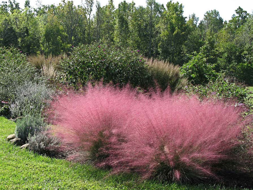 Muhlenbergia capillaris pink muhly grass buy online at for Pink decorative grasses