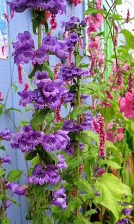 Penstemon species 'Hidalgo'