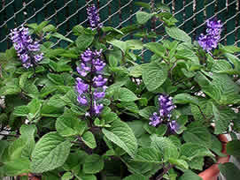 plectranthus zuluensis buy online at annie 39 s annuals. Black Bedroom Furniture Sets. Home Design Ideas