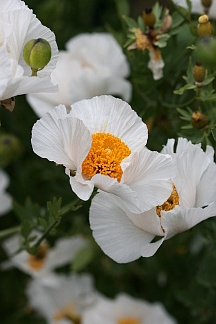 "Romneya coulteri ""Matilija Poppy"" ""Fried-Egg Flowers"""