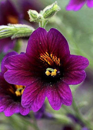 Salpiglossis sinuata  'Wild Grape'