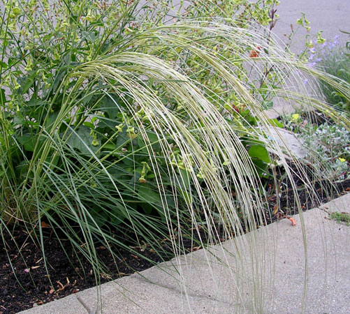 "Stipa barbata ""Silver Feather Grass"""