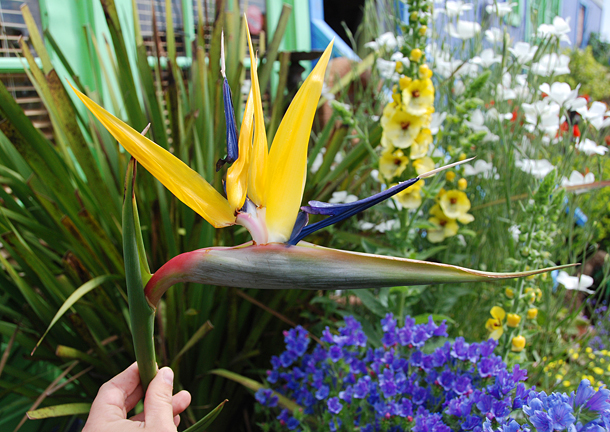 "Strelitzia reginae 'Yellow Form'  aka 'Mandela's Gold' ""Yellow Bird of Paradise"""