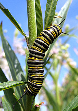 Monarch Mysteries! Learn the secrets of Metamorphosis with Mia Monroe  of Xerces Society, Sunday, April 10 at 11:00!