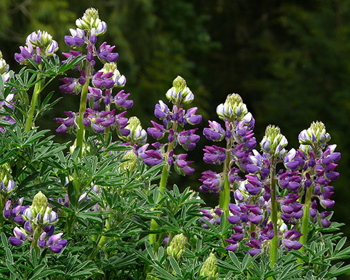 The Hills are Alive ... With Lupines!<br>Beautiful storybook blooms punctuate the garden!