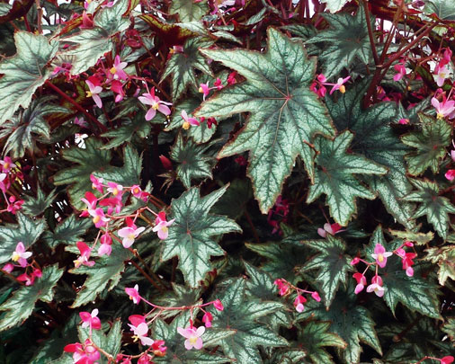 Beautious Begonias Tropical Foliage and Massive Blooms Abound!