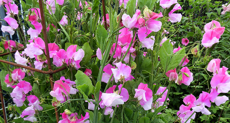 Oh, Sweet Pea! Won't You Dance with Me?<br/>We're planting our favorite old-fashioned, FRAGRANT  Sweet Peas right now - and you should, too!