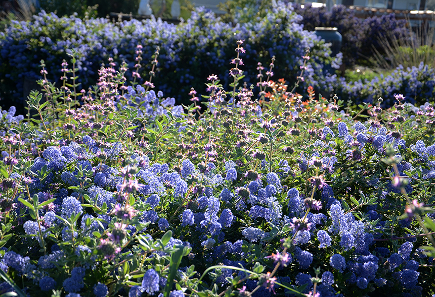Buckwheats and Ceanothus and Sages AND Manzanitas - Oh My!