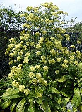 Umbel-ievably Cool! Bee A Garden Trailblazer – Plant Umbels!